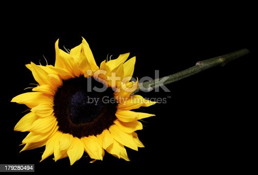 A photo of a sunflower on a black background.