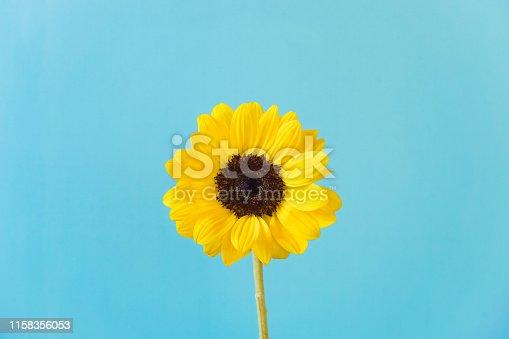 Sunflower, light blue background.