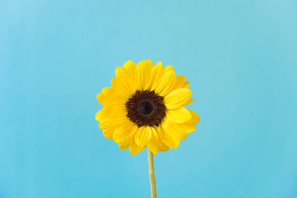 sunflower, light blue background. - single flower stock pictures, royalty-free photos & images