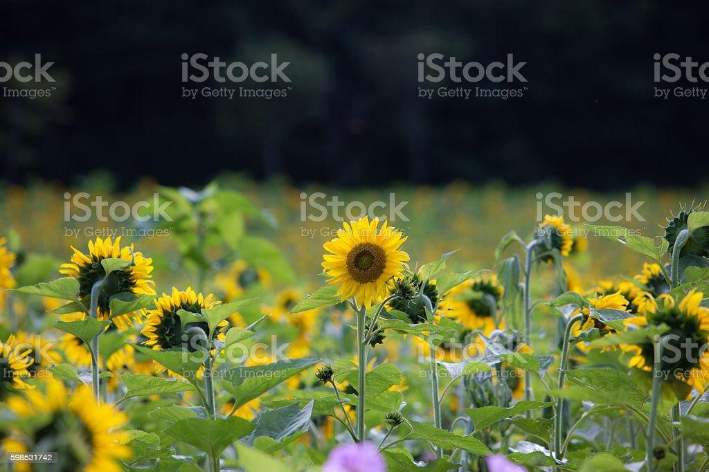 Sunflower looking ahead photo libre de droits