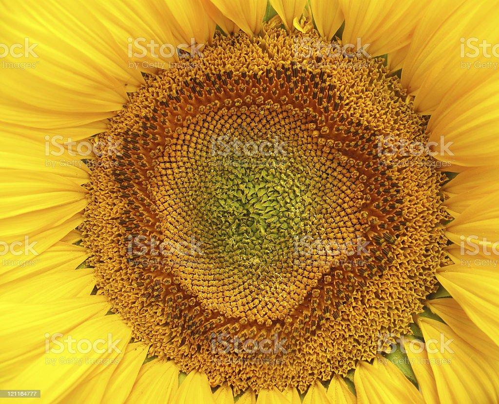 Sunflower macro full frame stock photo