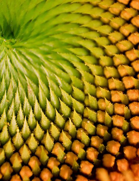 sunflower macro - 黃金比例 個照片及圖片檔