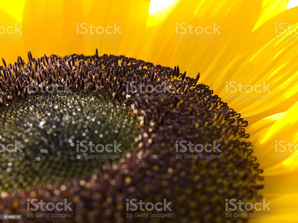 sunflower macro royalty-free stock photo