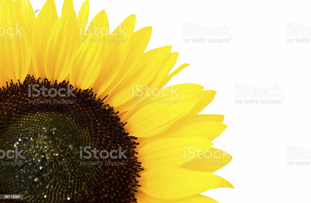 Sunflower macro royalty-free stock photo