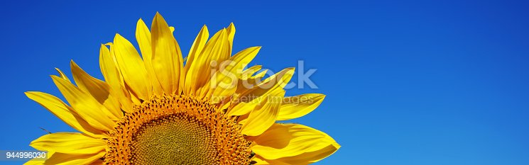 A DSLR close-up photo of a beautiful sunflower. Blue sky background, space for copy.