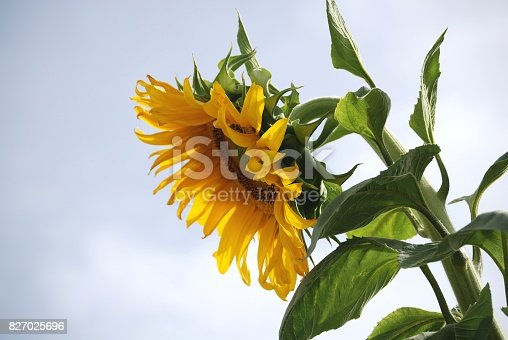 sunflower in profile against a cloudy sky, spring