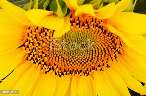sunflower on a full background at an angle from below. bright yellow petals, stamens clear.