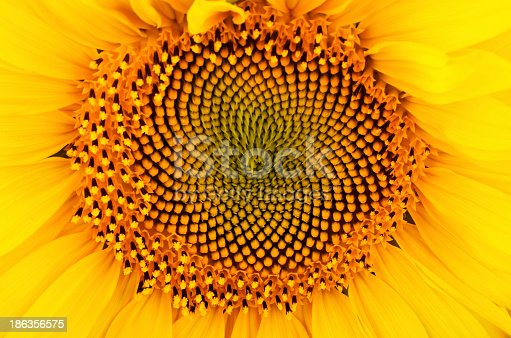 sunflower on a full background. bright yellow petals, stamens clear.
