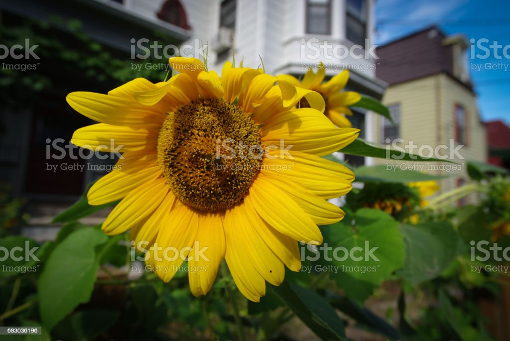 Sunflower on a house background foto de stock royalty-free