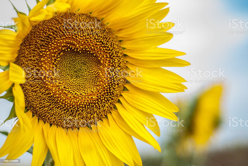 sunflower on background of clouds and blue sky stock photo