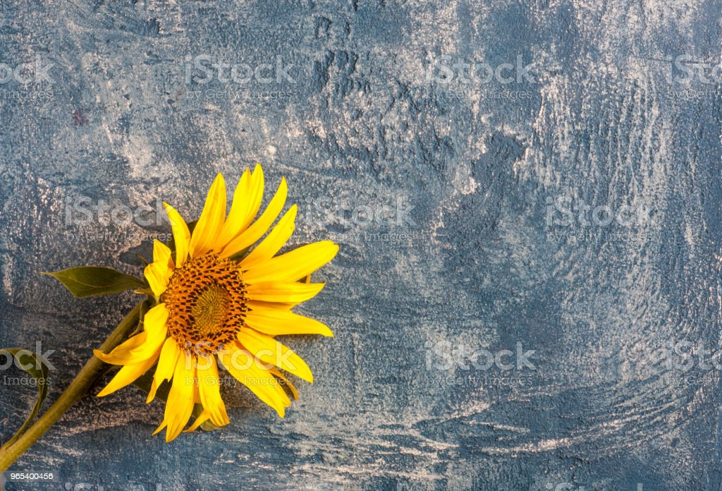 Sunflower on background royalty-free stock photo