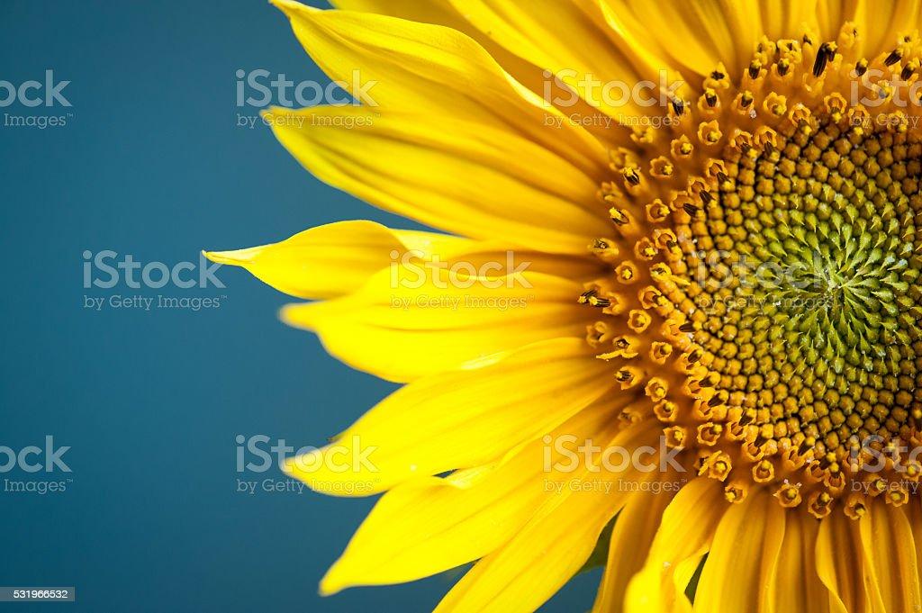 Sunflower on blue background. stock photo