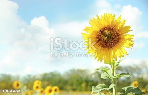 Sunflower on blue sky background.Field of sunflowers empty copy space landscape.