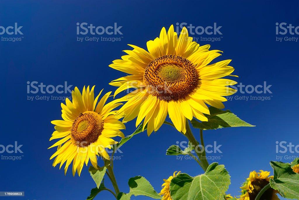 Sunflower on blue sky royalty-free stock photo