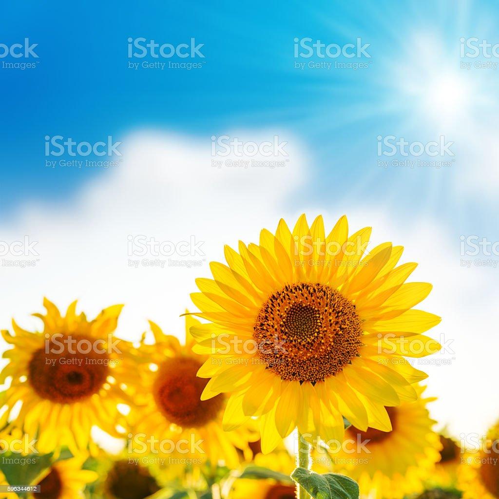 sunflower on field and sun in blue sky Lizenzfreies stock-foto