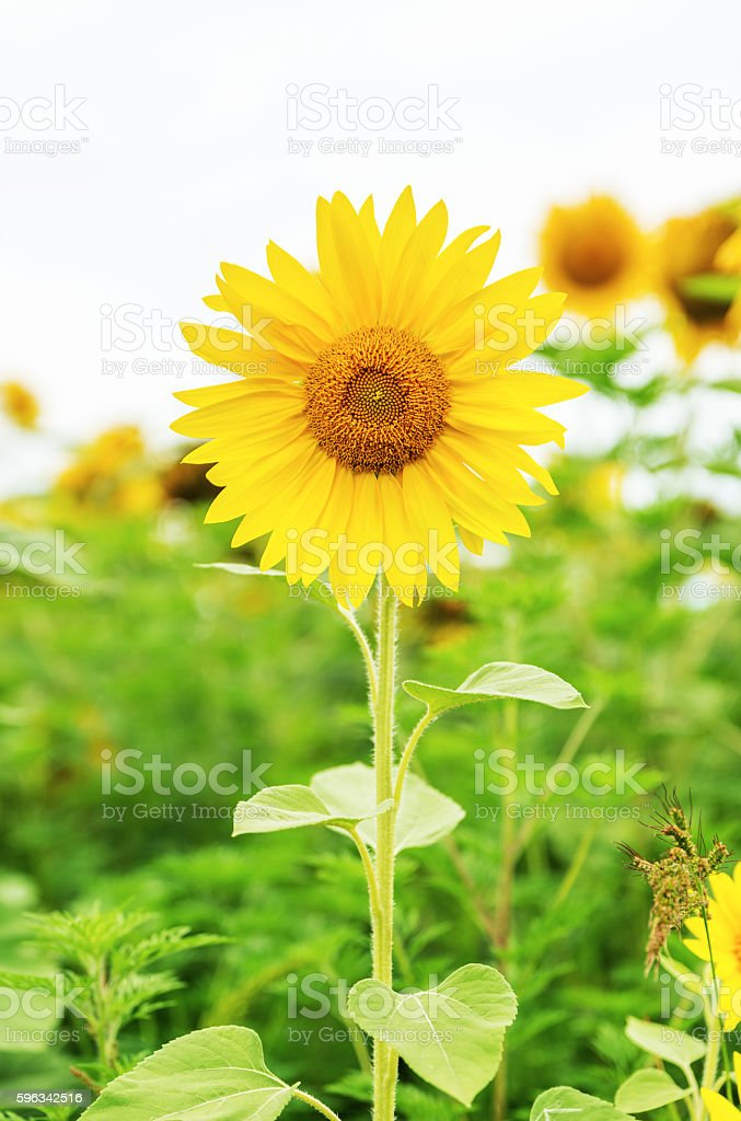 sunflower on field royalty-free stock photo