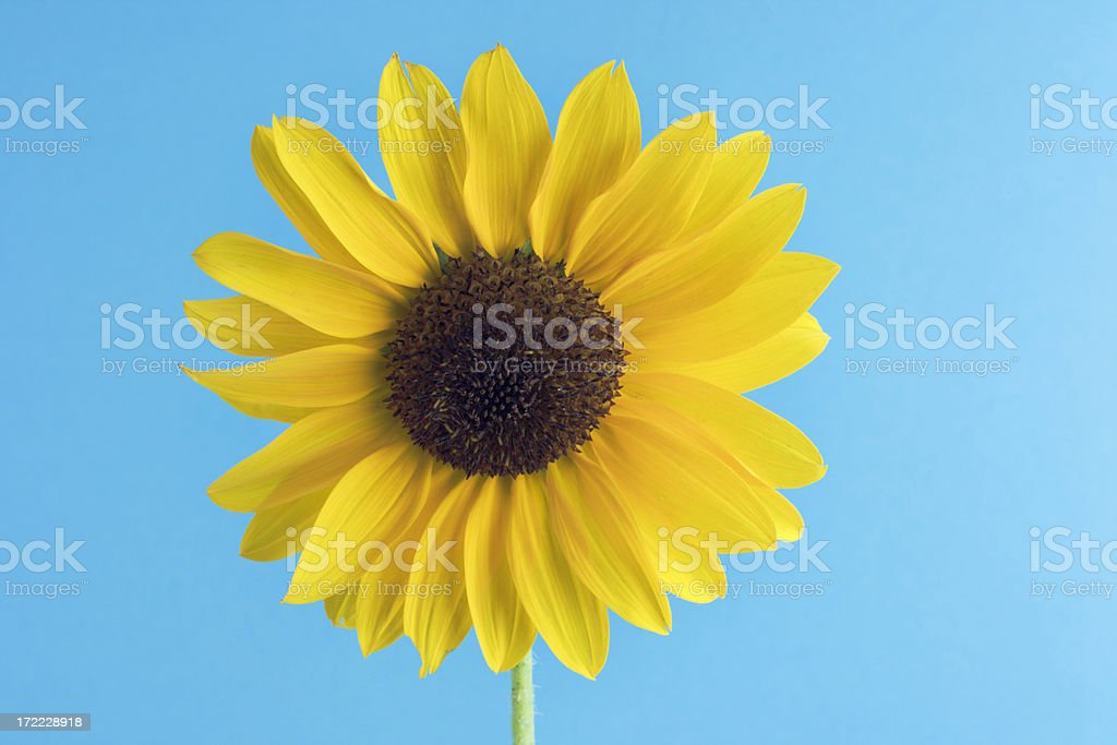 Sunflower on Sky Blue royalty-free stock photo