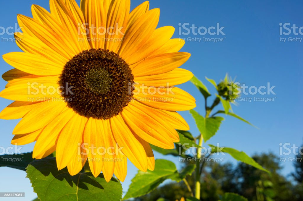sunflower on the background of blue sky stock photo