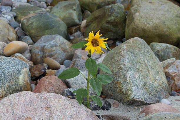 Sunflower on the beach between rocks stock photo