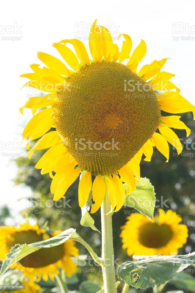 Sonnenblumen auf dem Feld. – Foto