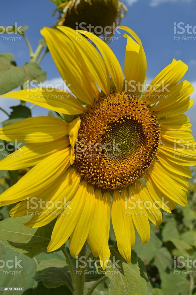Sunflower on the sunny day stock photo