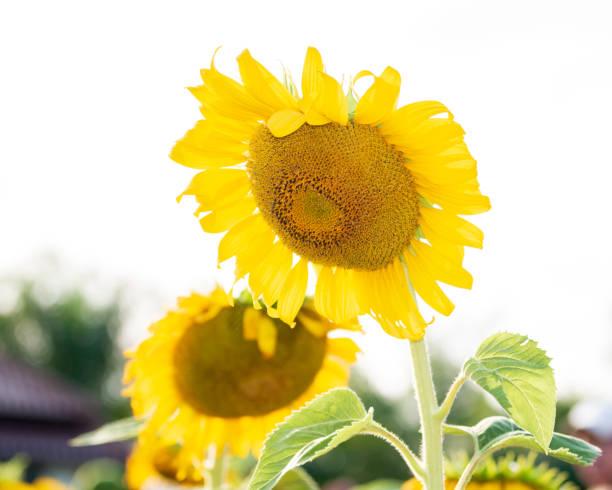 Sonnenblume auf Baum – Foto