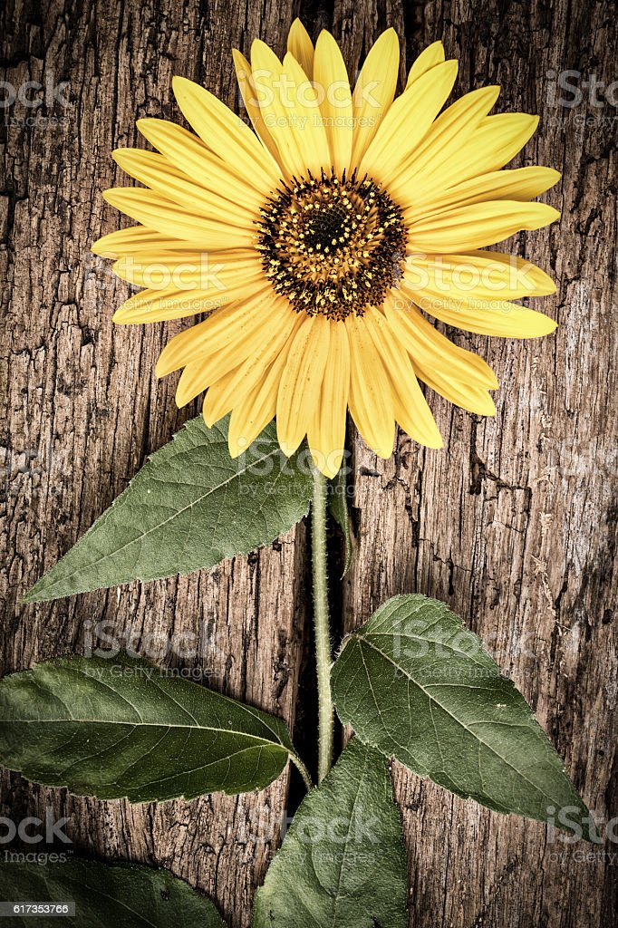 Sunflower On Vintage Wood Background Royalty Free Stock Photo