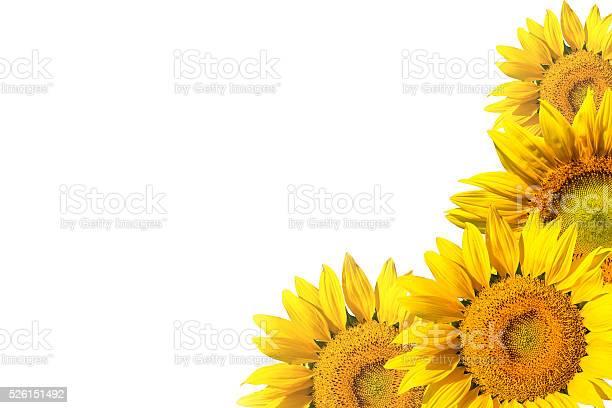 Sunflower on white background isolated picture id526151492?b=1&k=6&m=526151492&s=612x612&h=sbeizrh0dzw0setru8ooqsifgook8utqd5phmlhbk84=