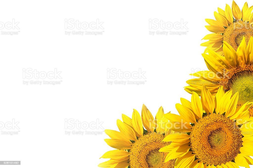 sunflower on white background isolated stock photo