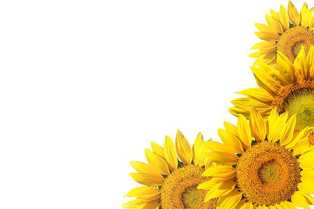 sonnenblume auf weißem hintergrund isoliert - sonnenblume stock-fotos und bilder