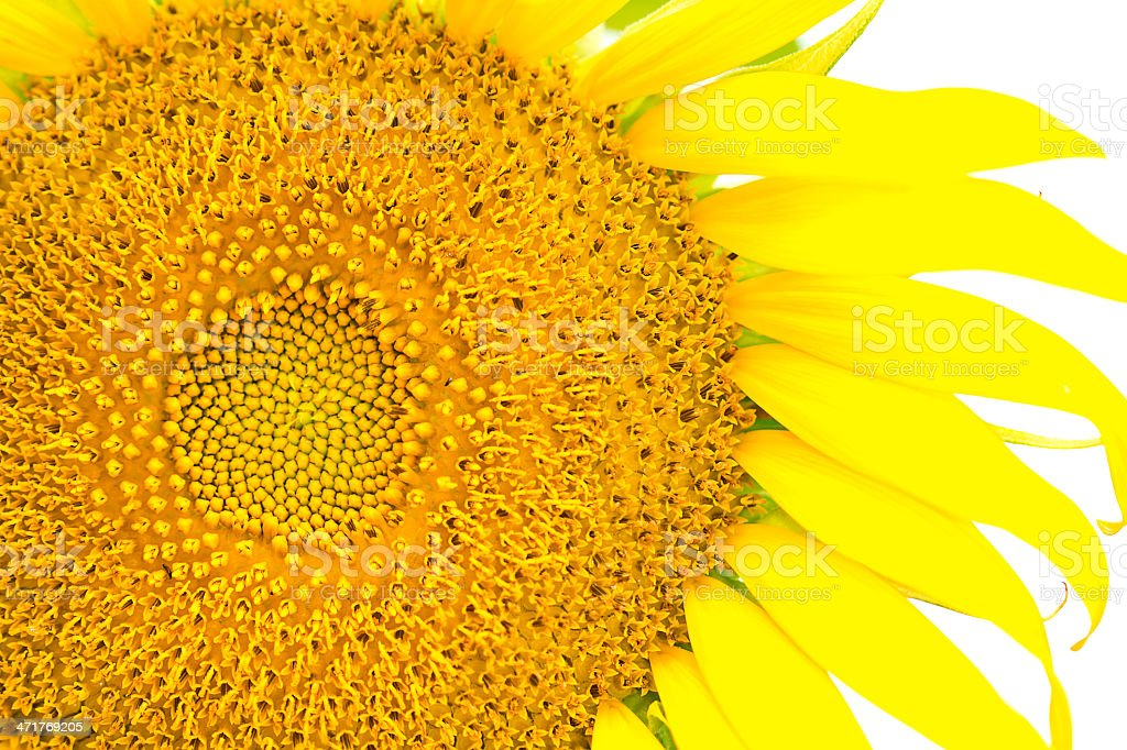 sunflower on white  background royalty-free stock photo