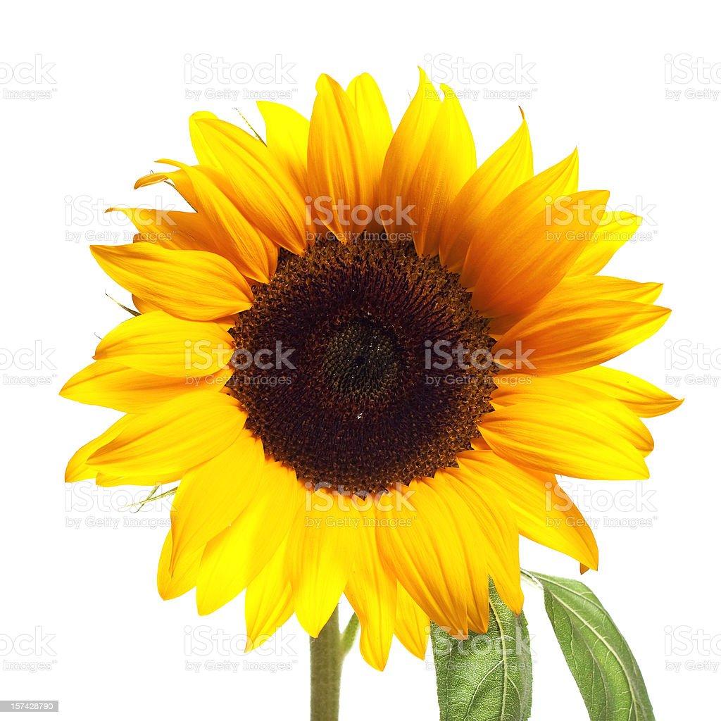 Sunflower on White stock photo