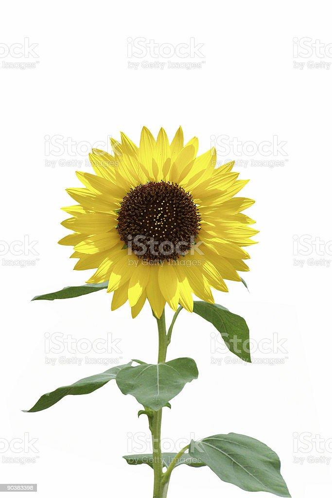 Sunflower on white royalty-free stock photo