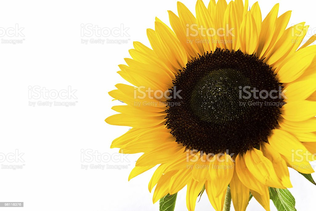 Sunflower on white royalty-free stock photo