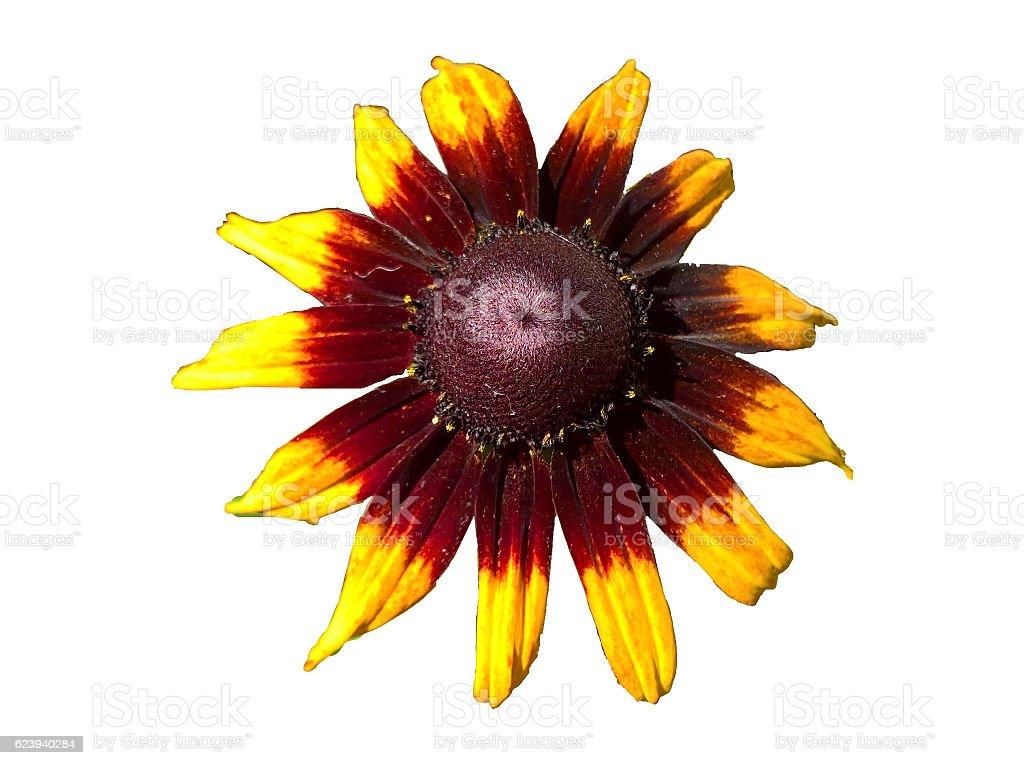 Sunflower Ornamental Isolated stock photo