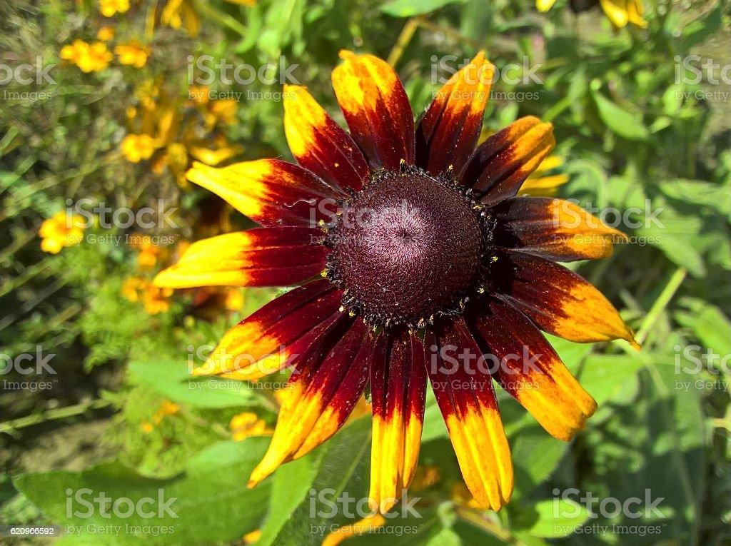 Sunflower Ornamental stock photo