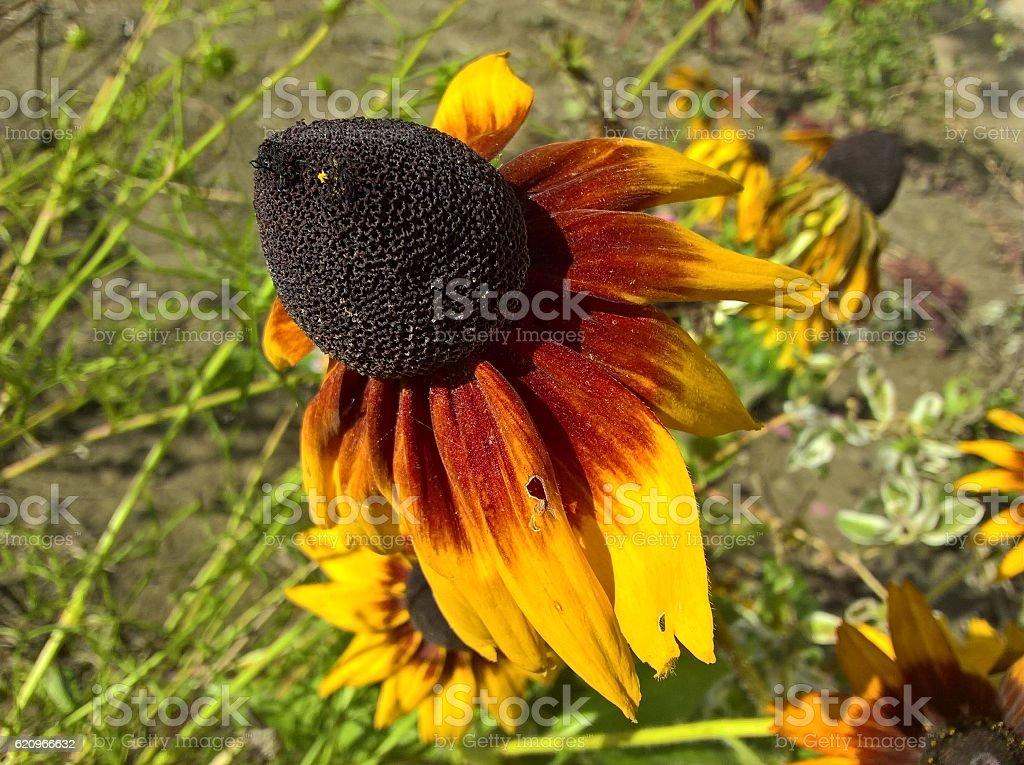 Sunflower Overblown stock photo