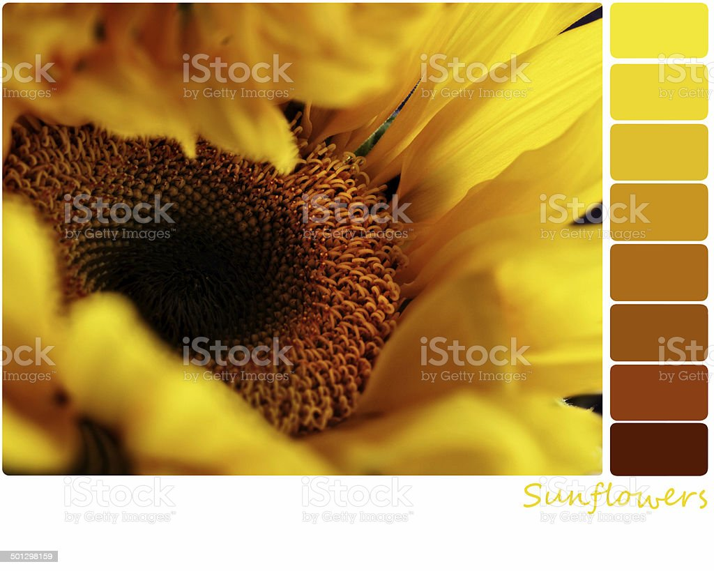 Sunflower Palette royalty-free stock photo
