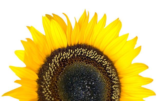 Sonnenblume Blüten, Nahaufnahme, isoliert. – Foto