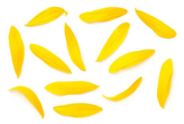 Sunflower petals isolated on white background picture id1163214194?b=1&k=6&m=1163214194&s=612x612&w=0&h=zg4um5xbtzokeo5ik6bymadz9rvv8thbgx nnxvydxe=