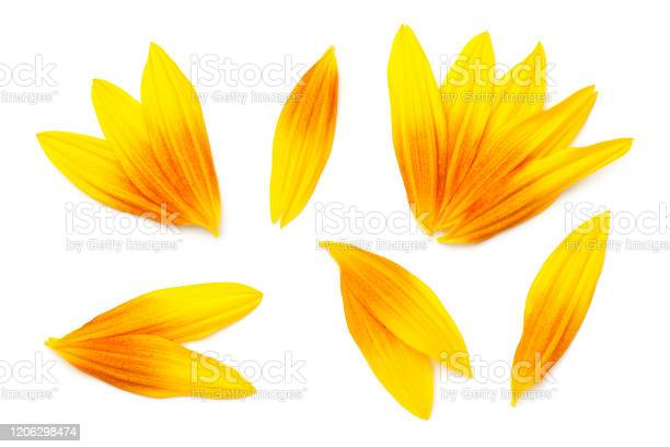 Photo of Sunflower Petals Isolated On White Background