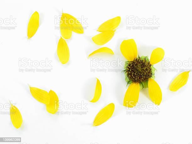 Sunflower petals picture id139962099?b=1&k=6&m=139962099&s=612x612&h=ckmy1d6pyqi3vnweql scblcsqsvmyl7yasj2fd ofo=