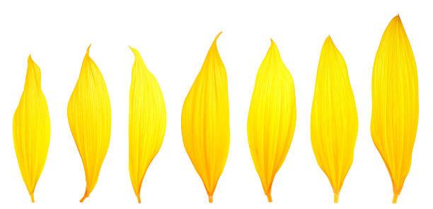 sunflower petals - taç yaprak stok fotoğraflar ve resimler