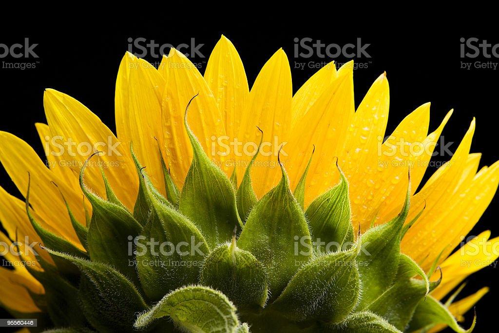 sunflower petals royalty-free stock photo
