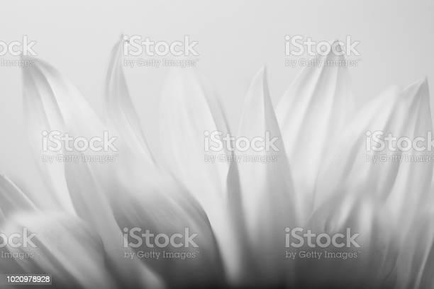 Sunflower picture id1020978928?b=1&k=6&m=1020978928&s=612x612&h=ofvys4k sypxrxjq jdskuueiansosfskovldla  z0=