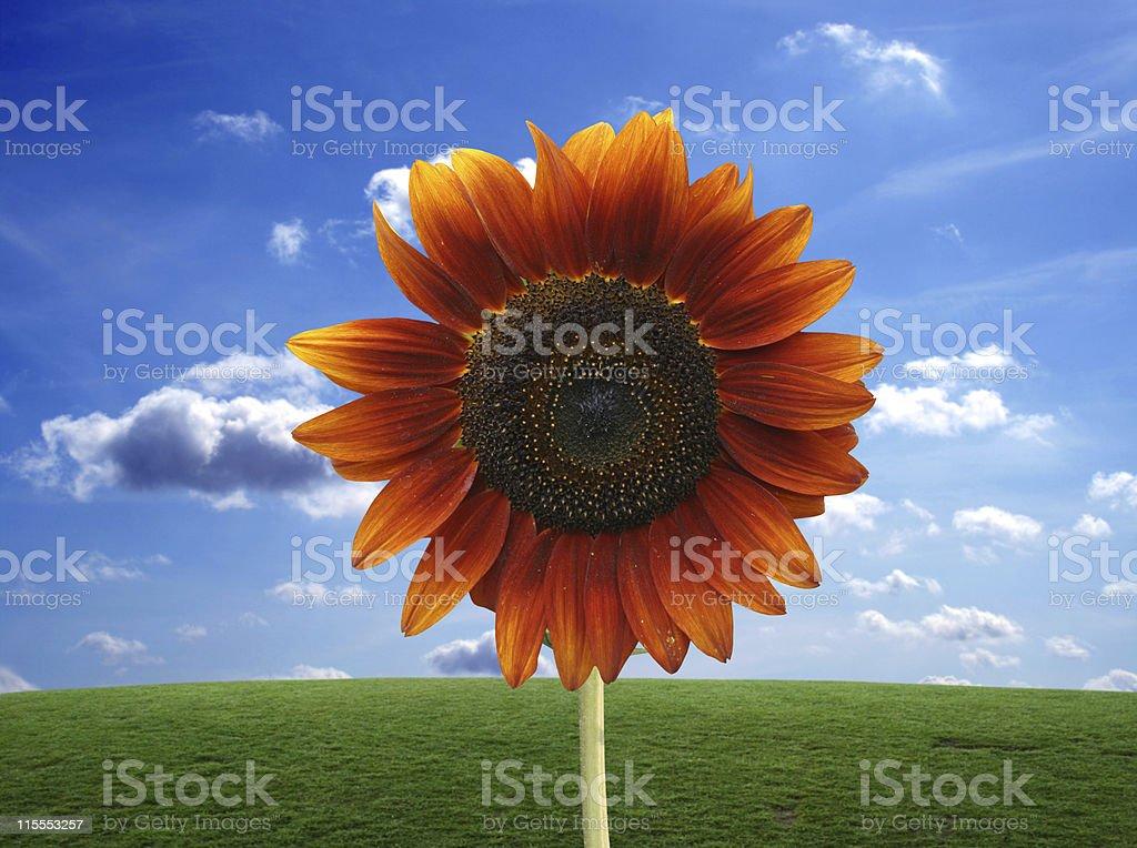 Sunflower royalty-free stock photo