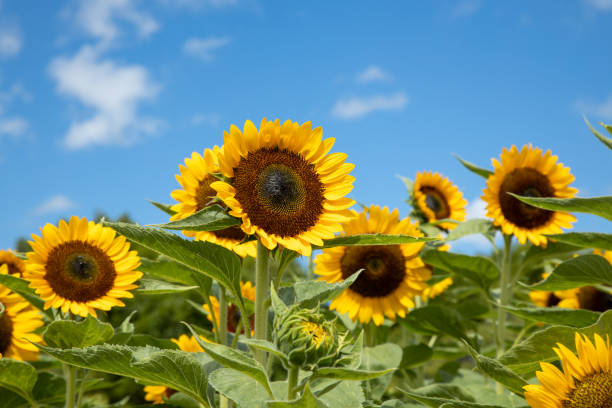 sunflower sunflower in the midsummer satoyama scenery stock pictures, royalty-free photos & images