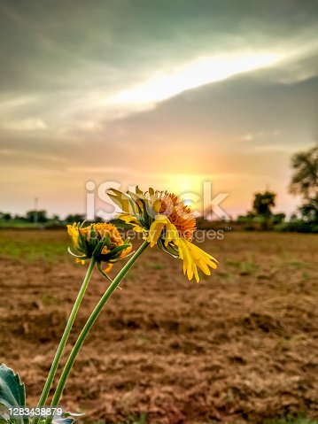 This is a beautiful sunflower, this photo is take during the sunset time
