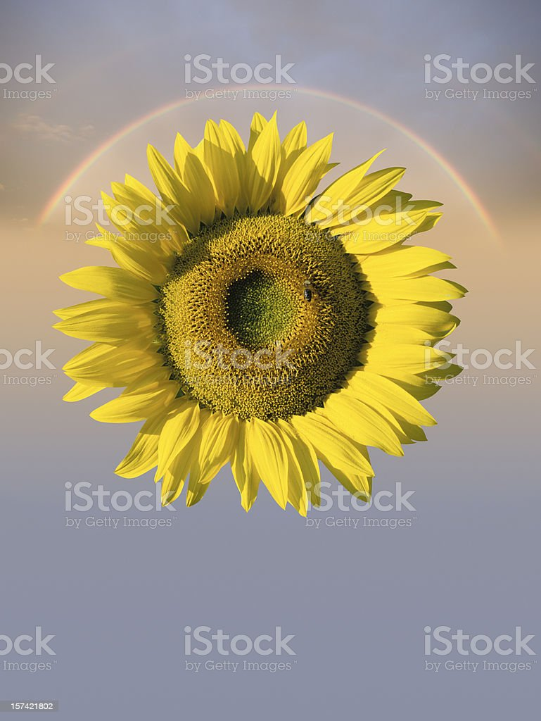 Sunflower (image size XXXL) royalty-free stock photo