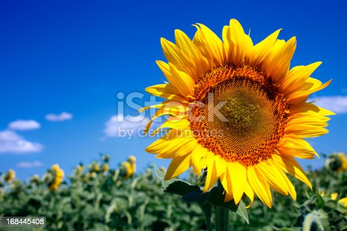 Sunflower with sky background.